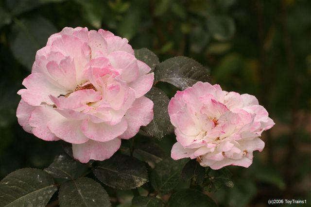2006 Fragrant Lace
