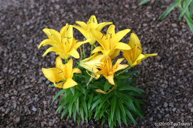2010 asiatic lily
