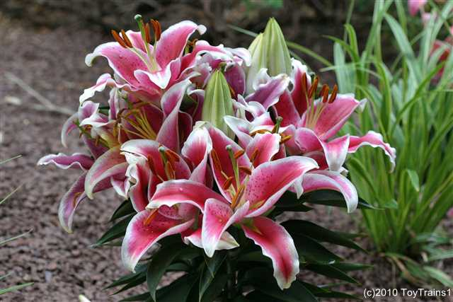 2010 oriental lily sunny after eight