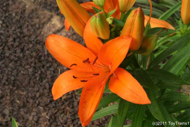 2011 asiatic lily