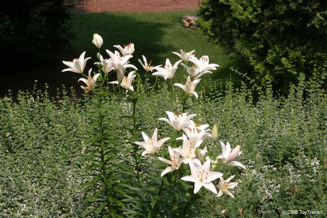2006 asiatic lily