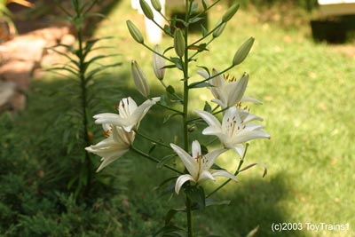 2003 asiatic lily