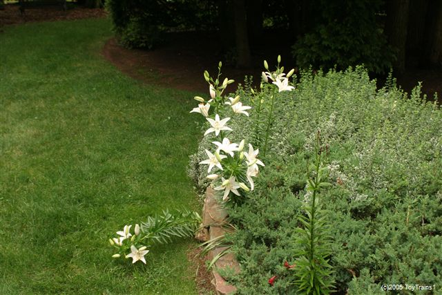 2005 asiatic lily