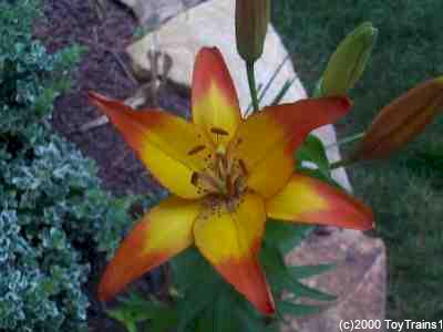 1999 asiatic lily