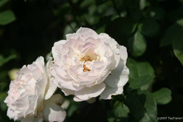 2007 fragrant lace