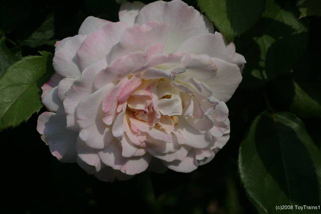 2008 fragrant lace