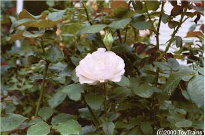 2000 fragrant lace