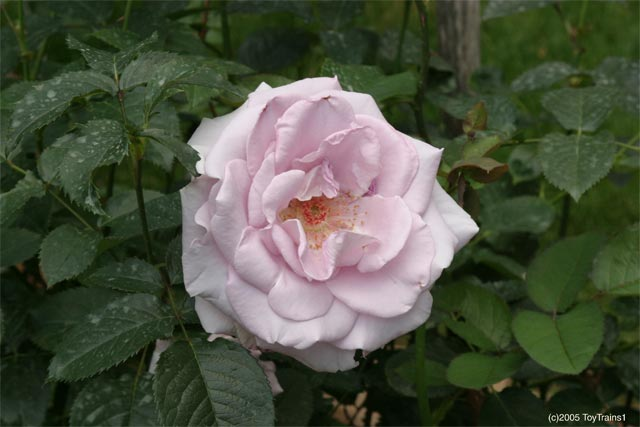 2005 Fragrant Lace